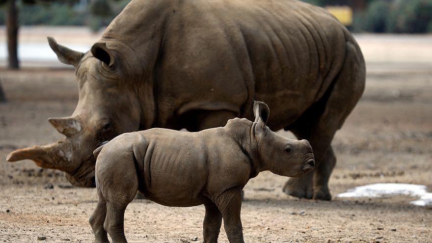 Un safari israelí presenta a la bebé rinoceronte al resto de la manada