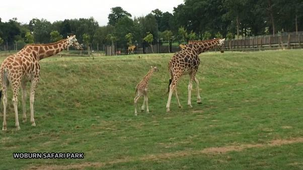 Rare Rothschild giraffe calf born at Woburn Safari Park