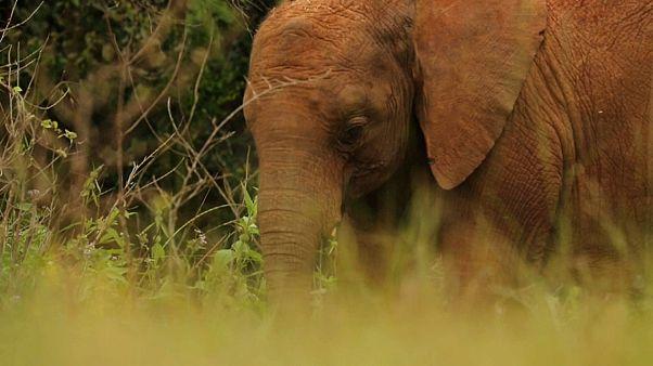 Au Kenya, l'orphelinat des éléphants