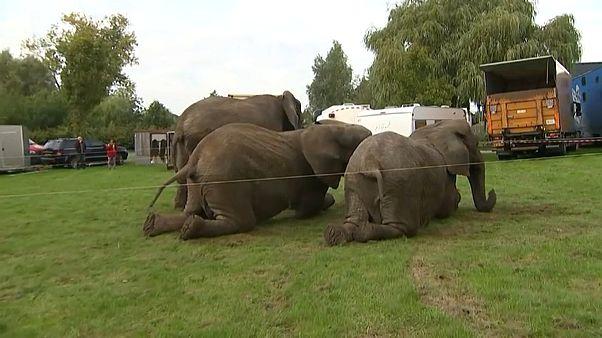 فيديو: التقاعد ليس للبشر فقط.. قانون جديد يحيل فيلة سيرك دنماركي للتقاعد