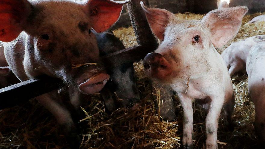 Belgique : l'inquiétude des éleveurs de porcs