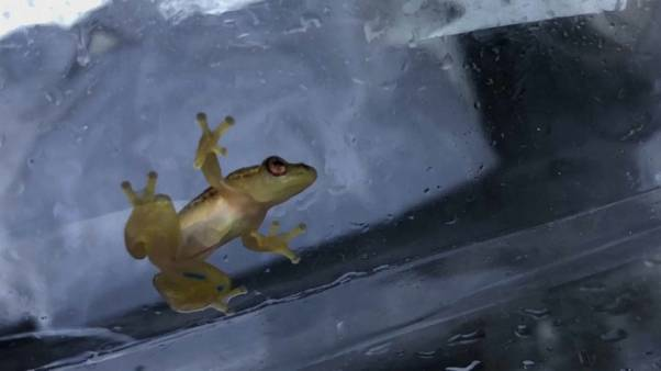 Saving a species: efforts to revive Pickersgill Reed Frog numbers