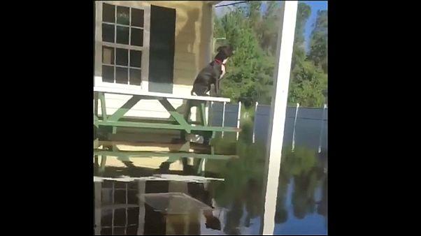 """شاهد : متطوع ينقذ الكلاب العالقة في مياه إعصار """"فلورنس"""""""