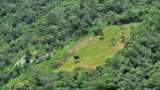 A coca plantation