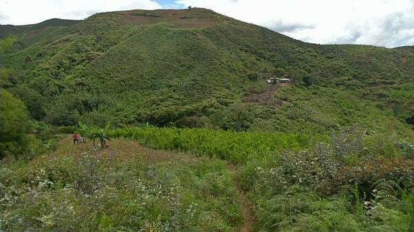 Récord de cultivo de coca en Colombia