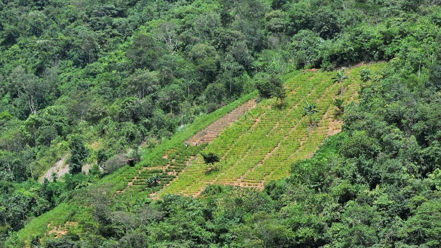 Colombia: la coltivazione di coca a livelli record
