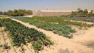 How do you grow vegetables in the desert?