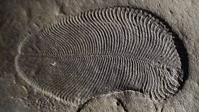 A fossil of a Dickinsonia.