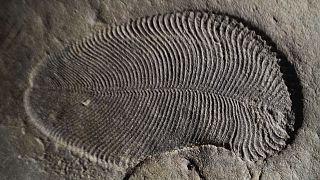 Dickinsonia, el primer animal que habitó en La Tierra