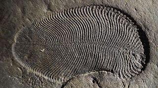 Forscher entdecken ältestes Tier der Welt: Dickinsonia, 558 Mio. Jahre alt