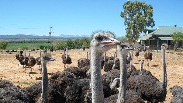 Avustralya'da deve kuşlarını kasten ezen şoför yakalandı