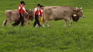 Geleneksel kiyafetleriyle inek otlatan İsviçreli çiftçiler