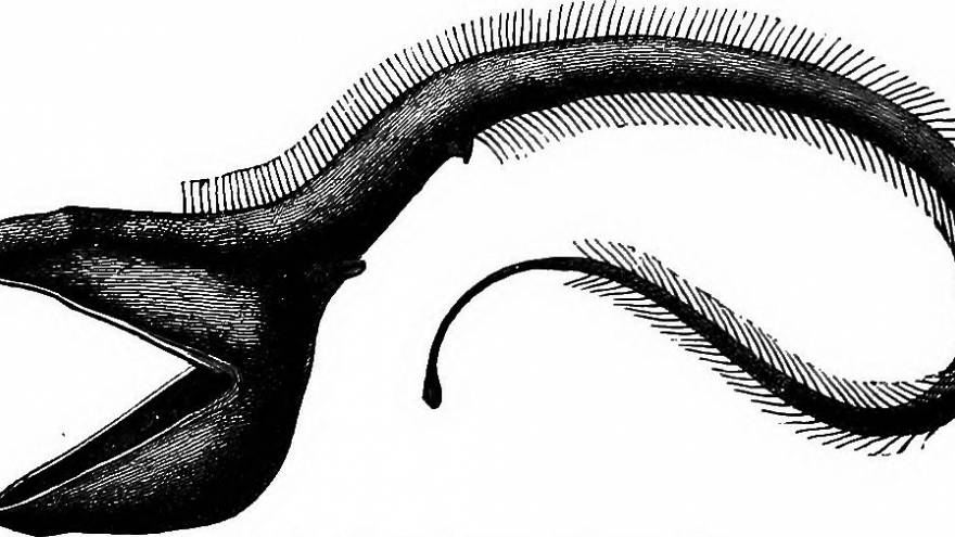 Tiefsee-Forscher filmen Aal mit Riesenmaul (Video)