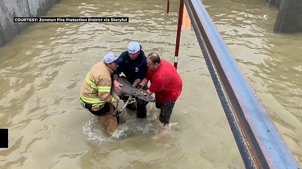 شاهد: رجال إطفاء ينقذون غزالين علقا في مبنى محاصر بالمياه