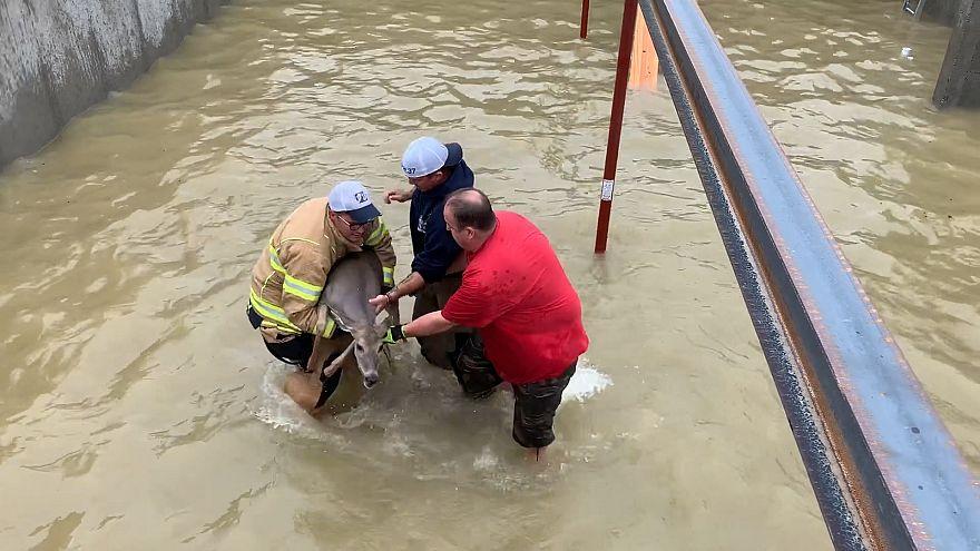 Ein Reh wird von Feuerwehrmännern aus dem Wasser gerettet