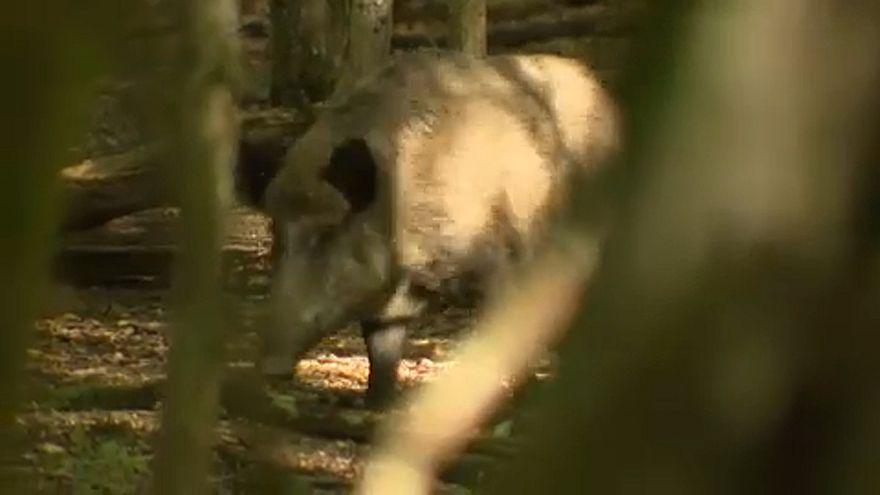 Peste suina africana: in Belgio al macello 4000 maiali