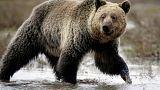 """I Cheyenne salvano la pelle dei loro """"fratelli"""" grizzly nello Yellowstone Park"""