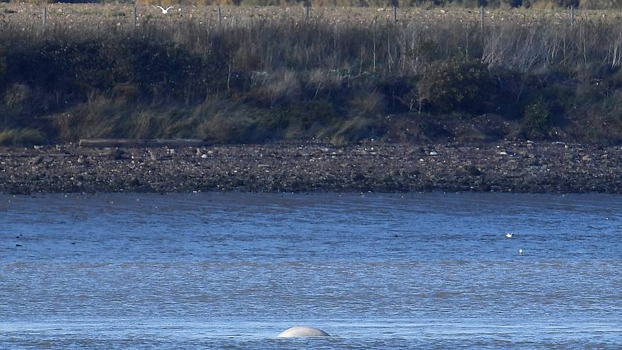 Beluga whale in Thames is 'extremely unusual sighting', says ecologist