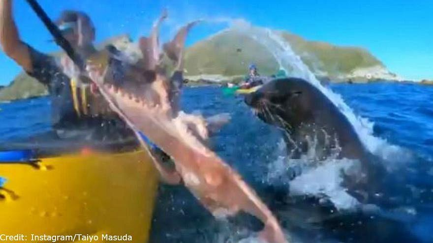 شاهد: فقمة تحاول صفع أحد هواة التجذيف بواسطة أخطبوط