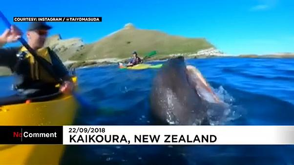 New Zealand seal slaps canoeist with octopus