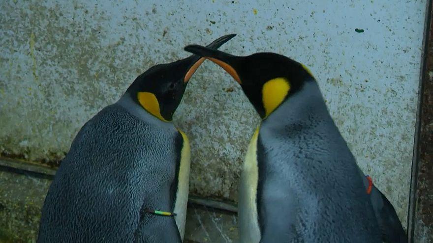 Пингвины-гомосексуалы похитили птенца