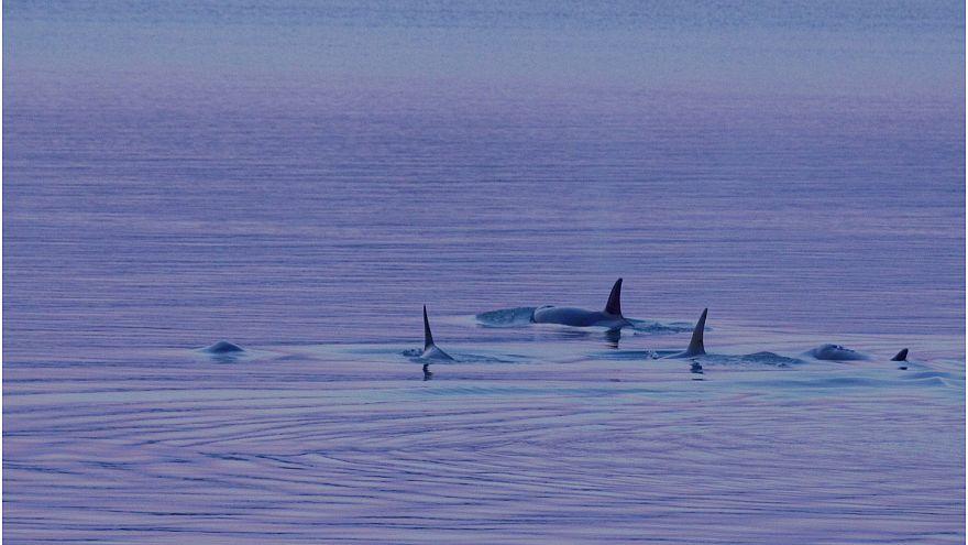 Katil balinaların da nesli tehlikede: Sebep zehirli atıklar ve çevre kirliliği