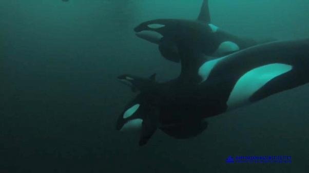 Half of the world's killer whale population in danger, study says