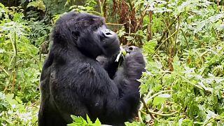 Ruanda: Berggorillas sind auf Touristen angewiesen