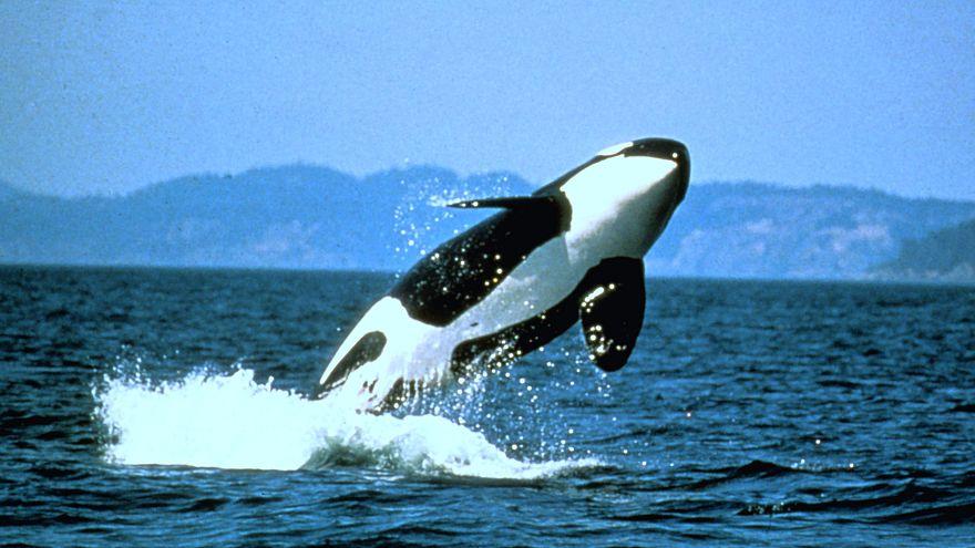 La mitad de las orcas del mundo pueden morir por el plástico