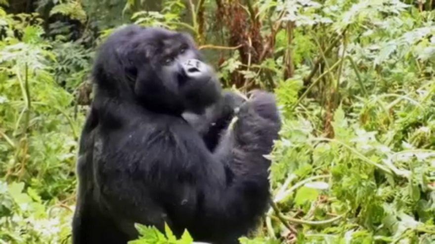 Los gorilas ya no son un atractivo turístico