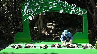 Bemutatkoztak a pandabébik