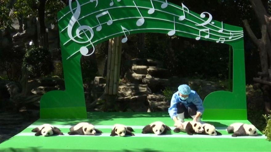 En China, 12 cachorros de panda gigante son enseñados al público