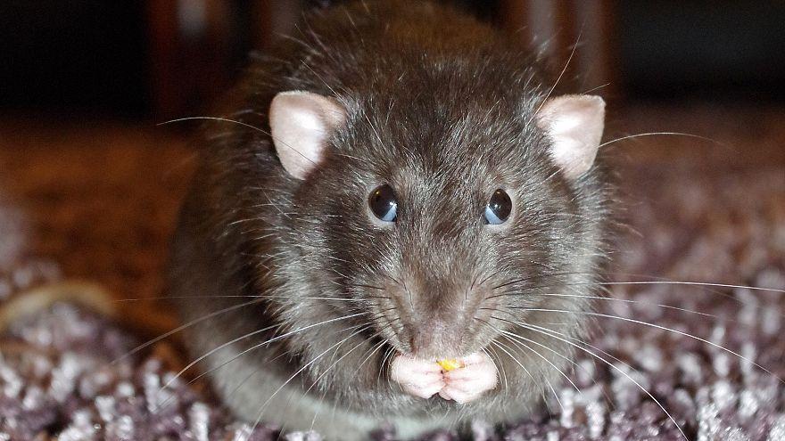 Man develops rat disease in Hong Kong
