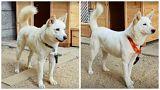 اهدای دو سگ شکاری سفید از کره شمالی به کره جنوبی؛ نماد صلح و دوستی