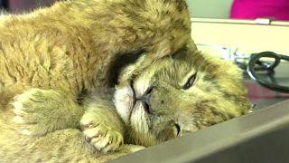 Yapay döllenme yöntemiyle doğan ilk yavru aslanlar ümit kaynağı oldu