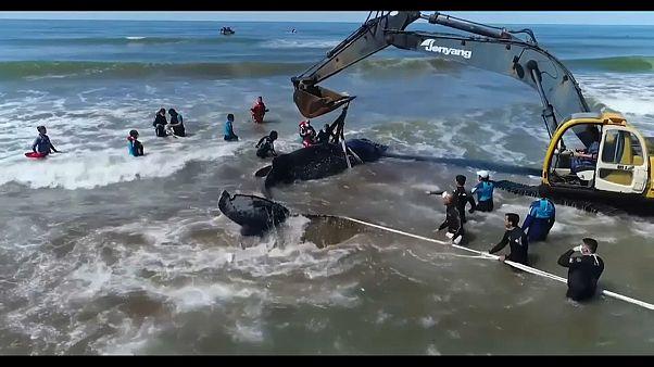 28 horas para libertar baleia encalhada