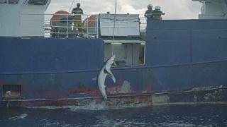 Un thonier pris en flagrant délit de pêche au requin