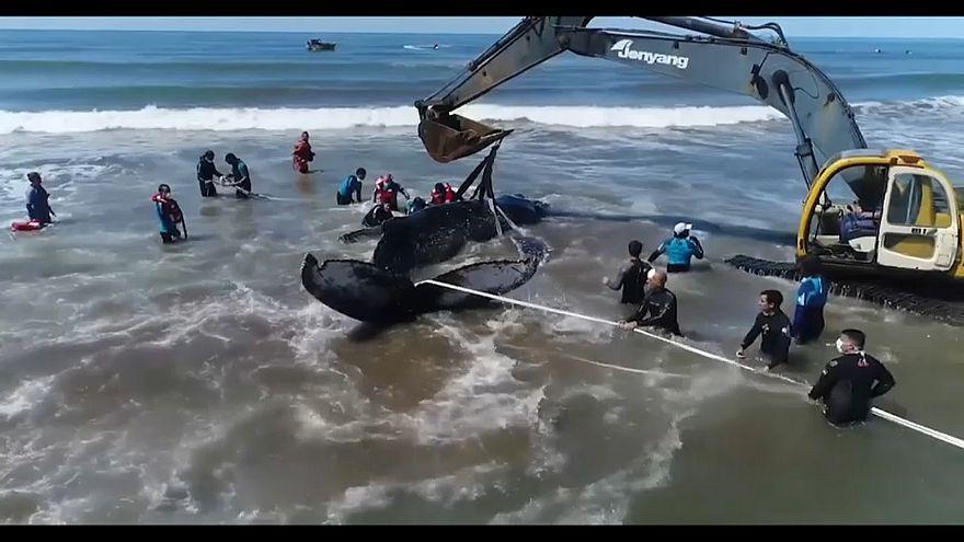 Megmentettek egy bálnát Argentínában