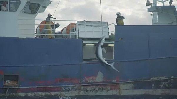 Αδιάκοπα συνεχίζεται η παράνομη αλιεία του απειλούμενου μπλε καρχαρία