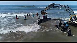 Beached humpback whale rescued in Argentina