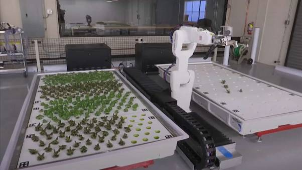Robot-farmed veggies ready for consumption