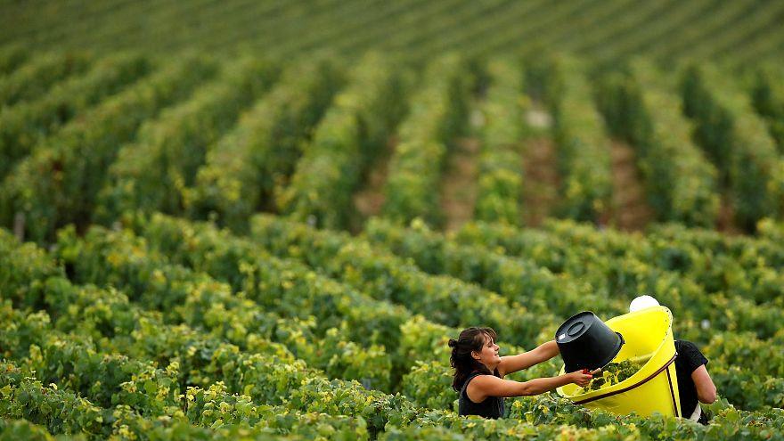 Húsz éve nem volt olyan jó a szőlőtermés Németországban, mint idén