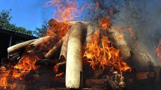 Myanmar'da 1.5 ton fildişi, kaplan kemiği ve antilop boynuzu imha edildi
