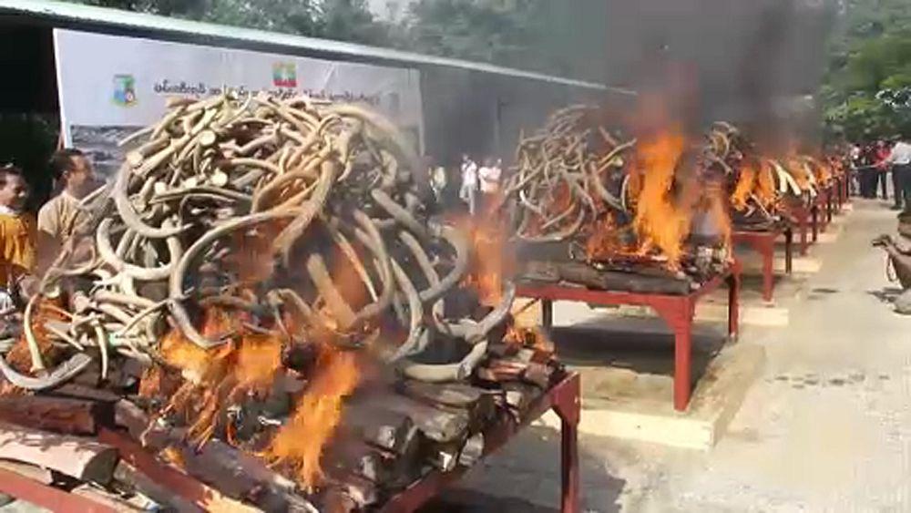 شاهد: ميانمار تحرق بقايا الفيلة والنمور كي تكافح التجارة غير