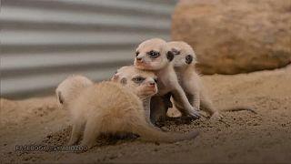 Meerkat pups greet adoring crowds in Sydney zoo
