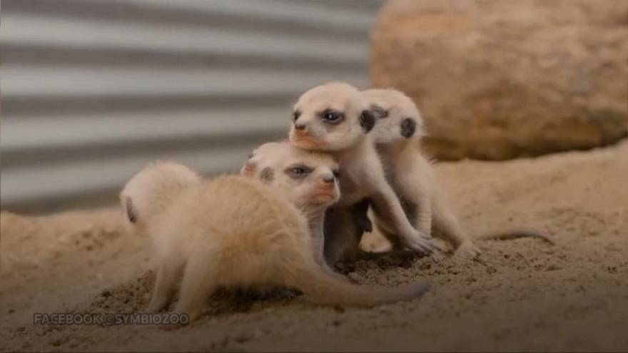 Meerkat pups greet adoring crowds in Sydney zoo