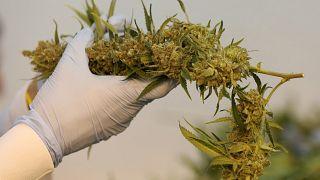 شهروندان کانادایی در انتظار آغاز فروش قانونی ماریجوانا