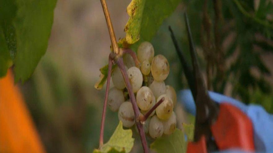 Deutschland: Beste Weinernte seit 1999
