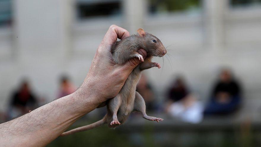 لماذا على الباريسيين تعلم التعايش مع الفئران في مدينة الأنوار؟
