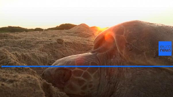 Olive Ridley sea turtles swarm Mexico beach to lay eggs